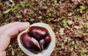 Sagra della castagna e del fungo porcino a Roccamonfina in tutti i weekend di ottobre