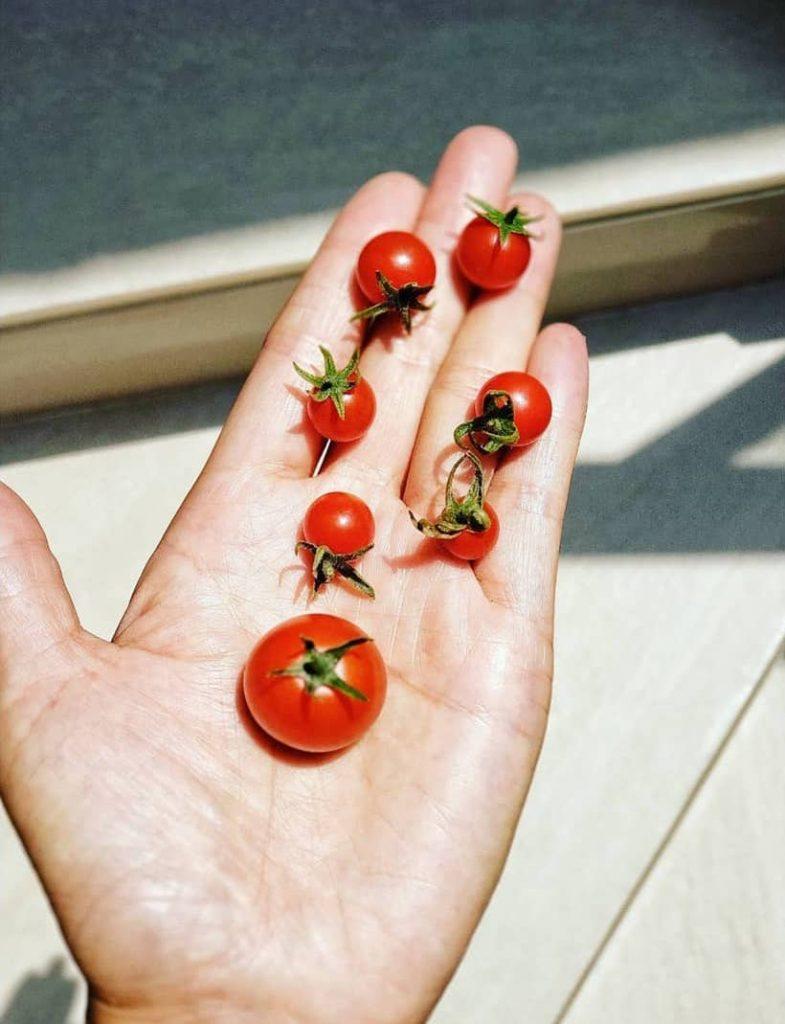 Il Pomodoro re degli ortaggi, apprezzato in tutto il mondo-2